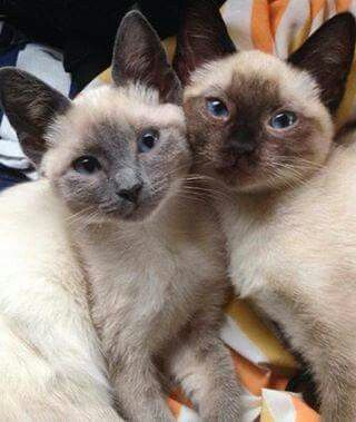 Posing For The Camera Cheese Cats And Kittens Tonkinese Cat