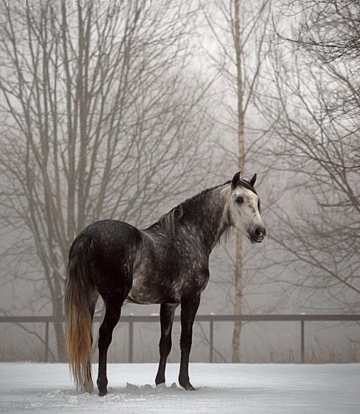 By Augestad Dapple grey horses, Grey horse