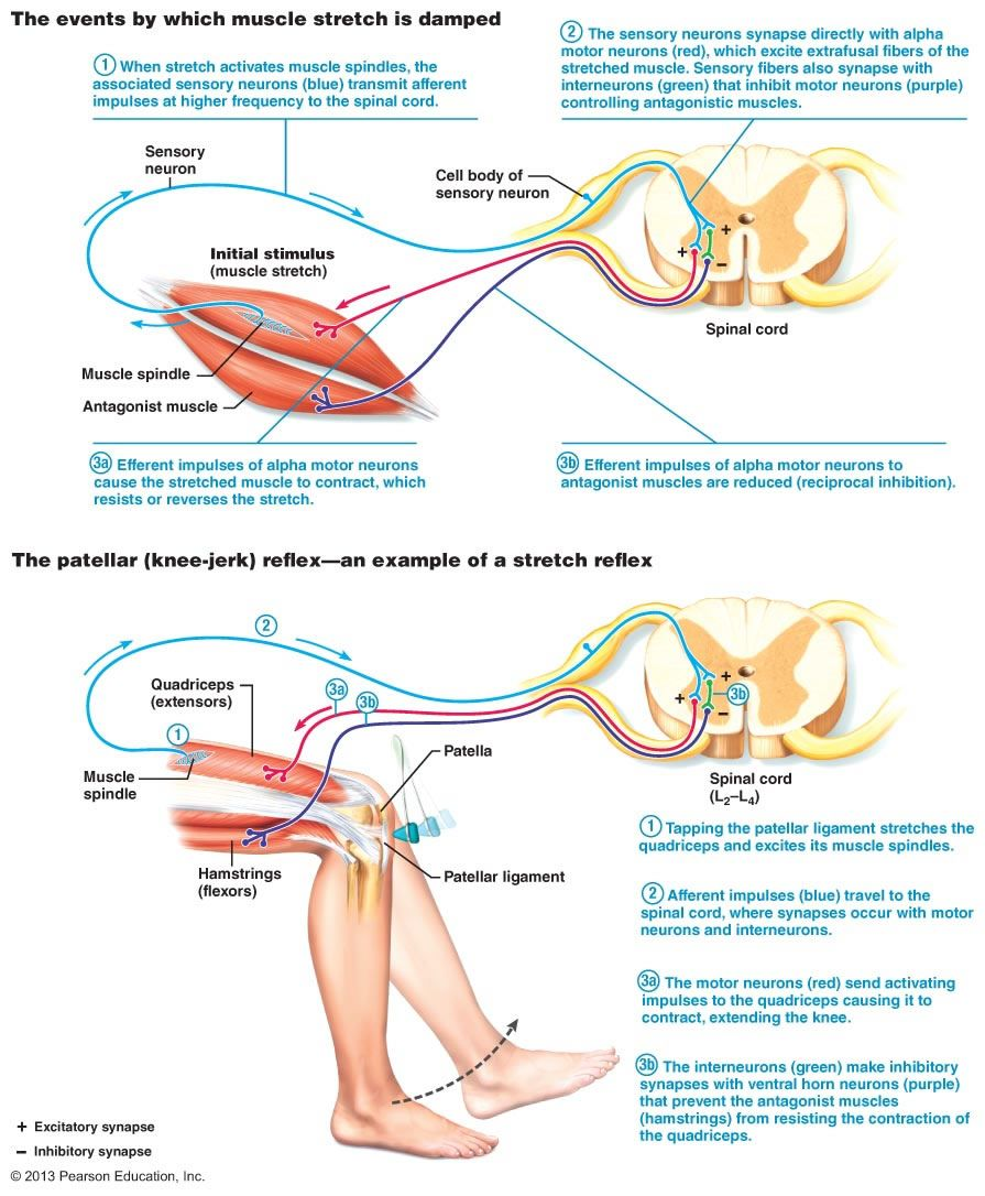 nervous system and reflex arc In a reflex arc, a stimulus felt by the skin, muscles or organs transmits to the central nervous system (usually the spinal cord) the central nervous system relays the signal to initiate an action from the organism in response to the stimulus the reflex arc is a part of the peripheral nervous.