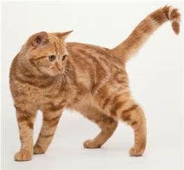 British Shorthair Red Tabby Cat Tabby Cat
