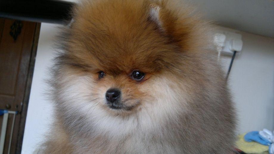 Pommania Pomeranians Passion Pomeranian Puppy For Sale Pomeranian Pomeranian Puppy