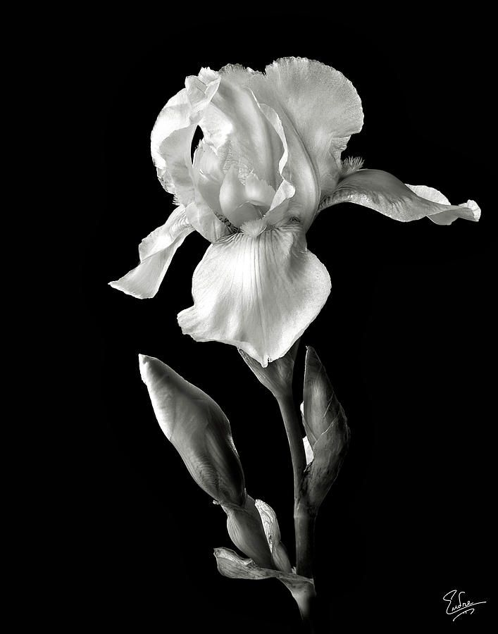 White Iris In Black And White With Images White Iris Iris Painting