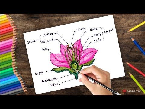 How To Draw Cross Section Of Flower Step By Step Youtube Diagram Of A Flower Parts Of A Flower Hibiscus Flower Drawing