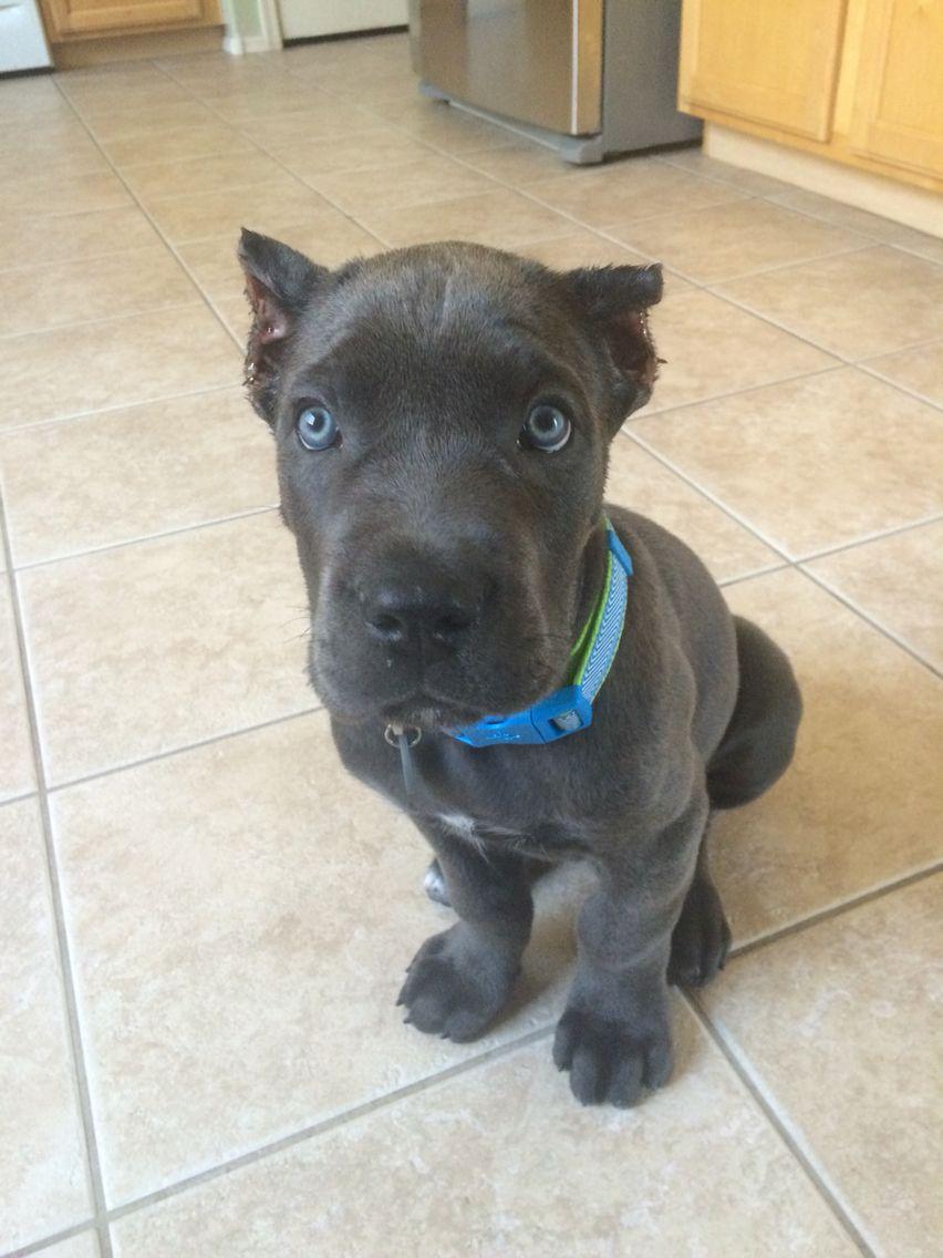 9 Week Old Italian Mastiff Grey Brindle Cane Corso Puppies Cane