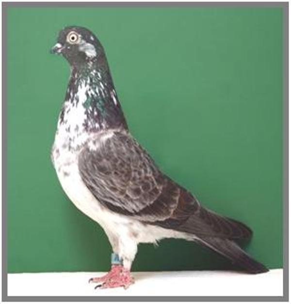 Portuguese Tumbler Pigeons For Sale Google Search Tumbler Pigeons Pigeons For Sale Pigeon