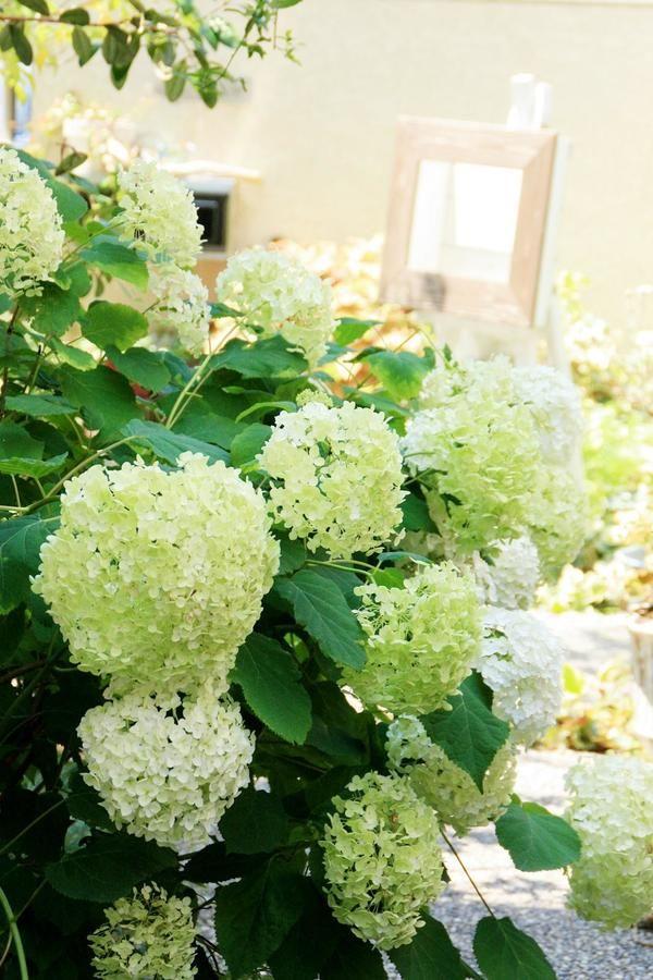 人気のアジサイ アナベル の剪定考察 植樹 花畑 庭 づくり