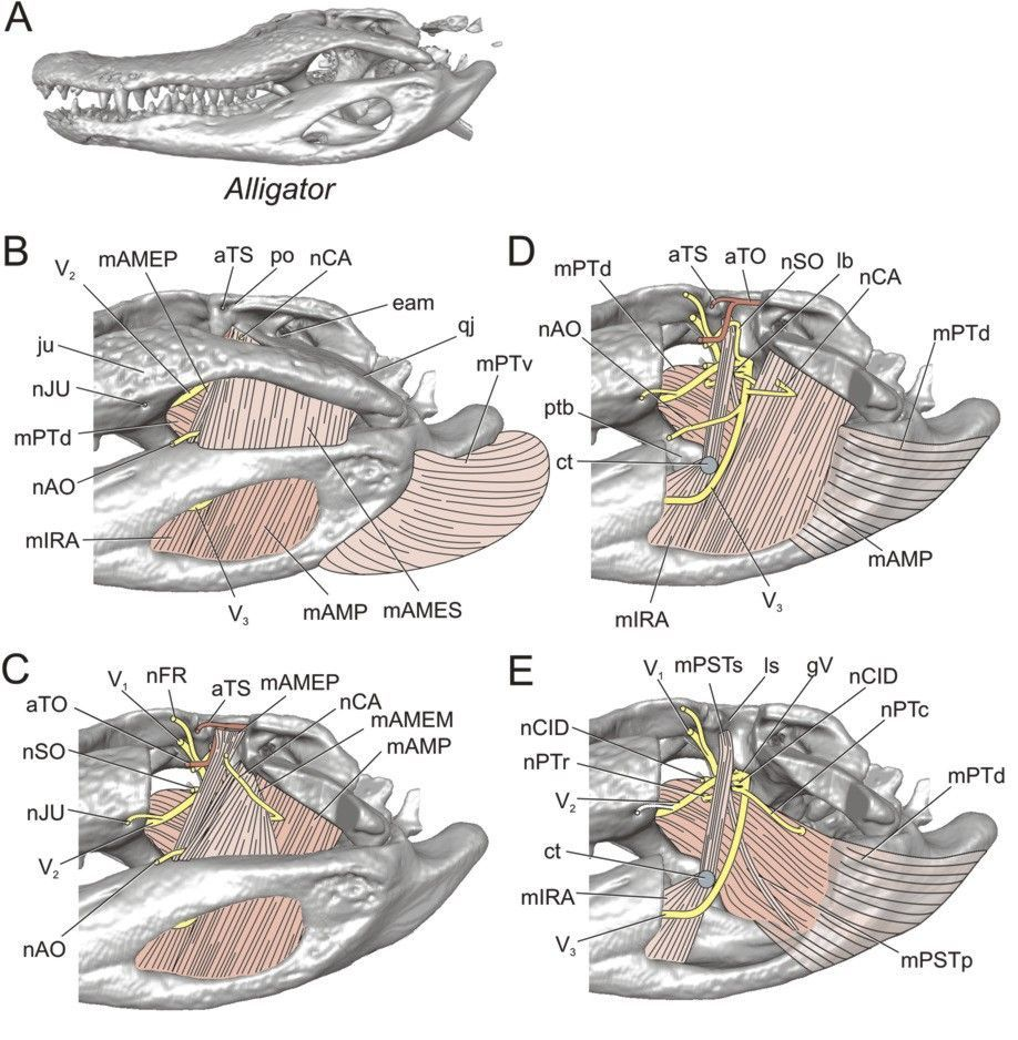 Image result for crocodile jaw muscles | Dinosaur Anatomy ...