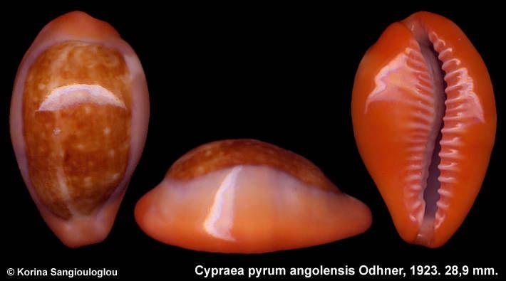 cypraea pyrum angolensis - Google Search