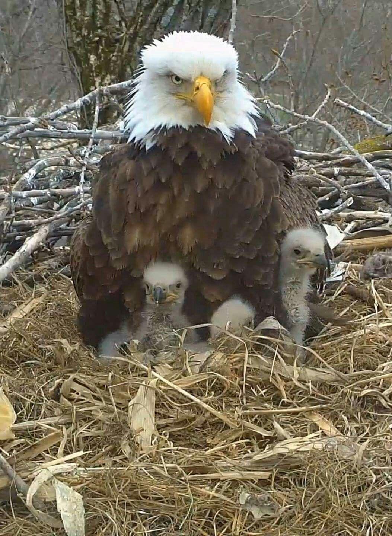Mom and eaglets   Decorah eagles