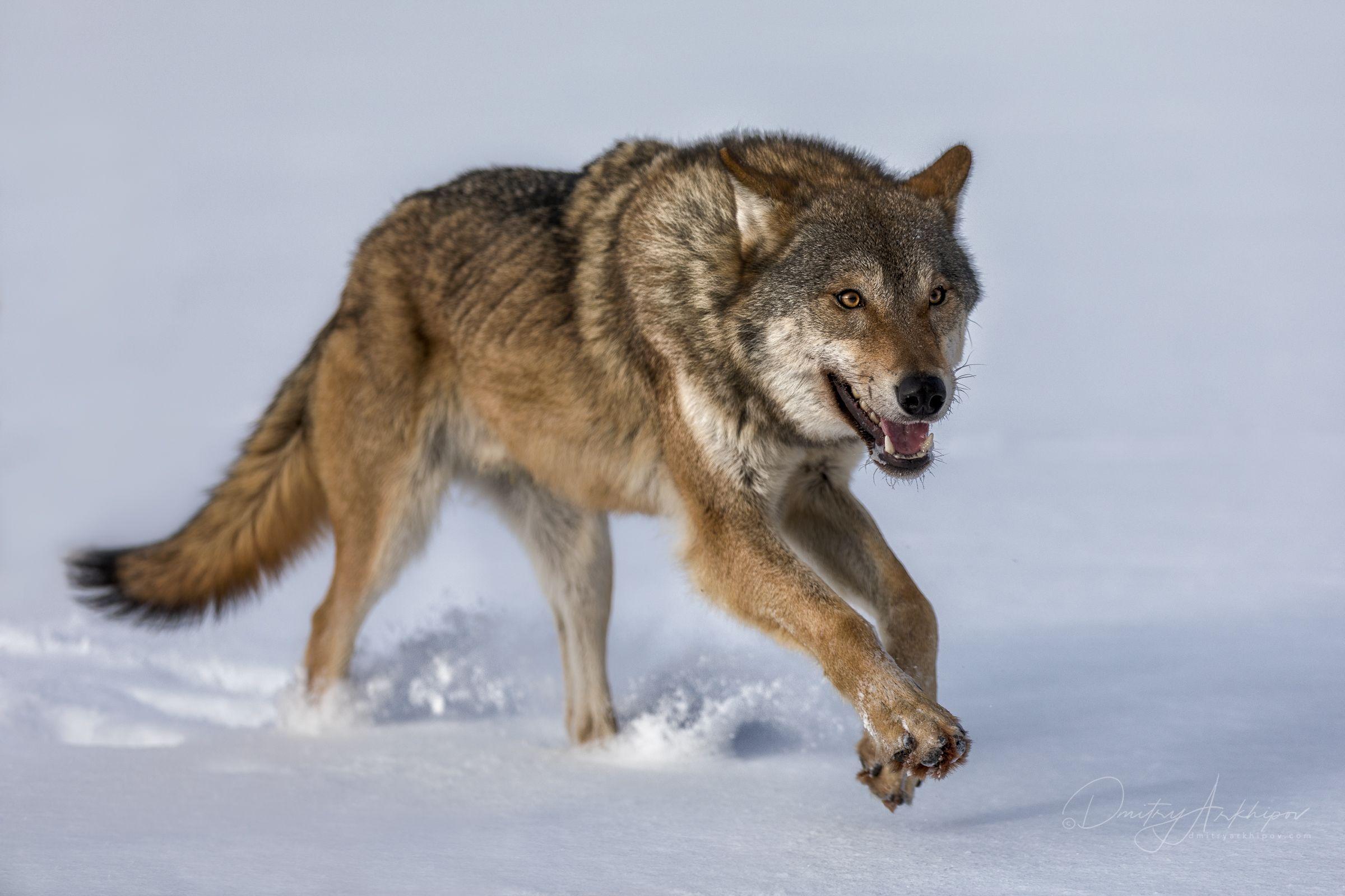 Волк картинка для детей фото