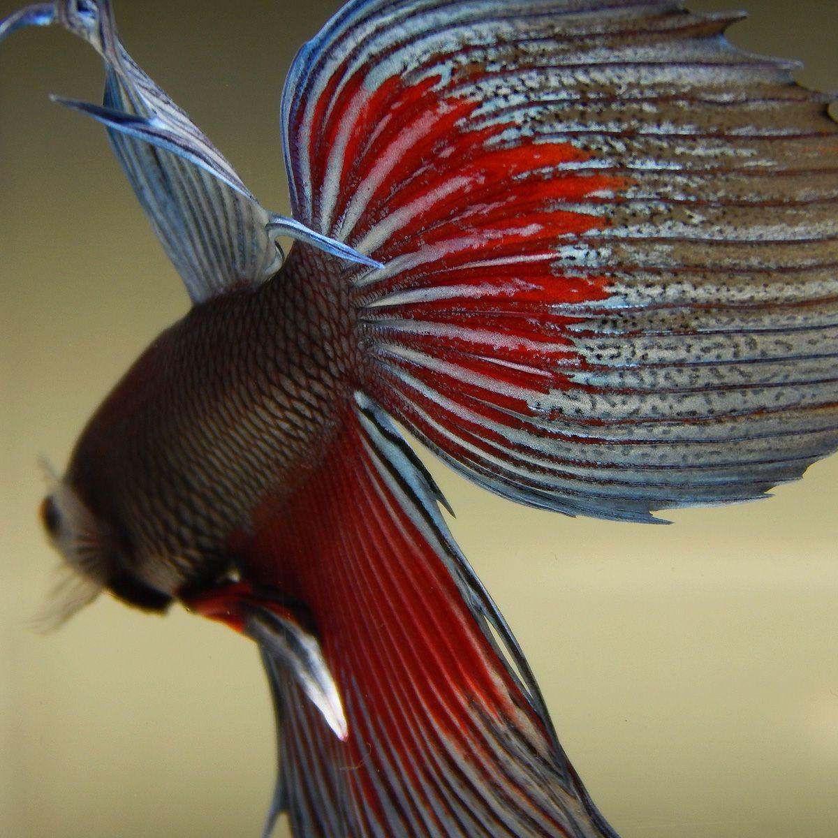 Live Betta Fish (Male) RED RUSTIC BLUE STEEL VEILTAIL | Betta, Betta ...