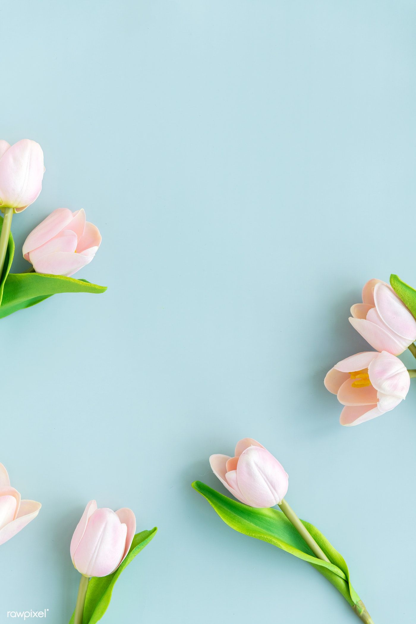 Download Premium Image Of Light Pink Tulips On Blank Blue