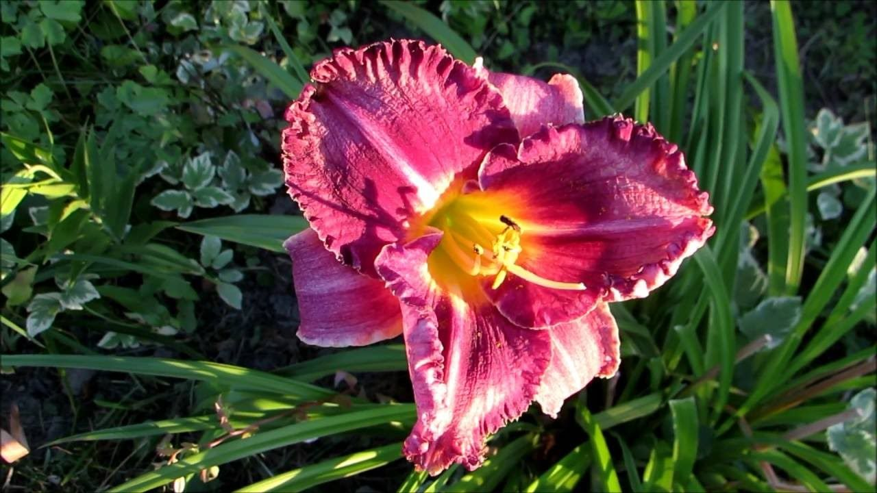 My beautiful ''Always Afternoon'' day lilies in the golden