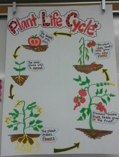 plant life cycle anchor chart (tomato plant)