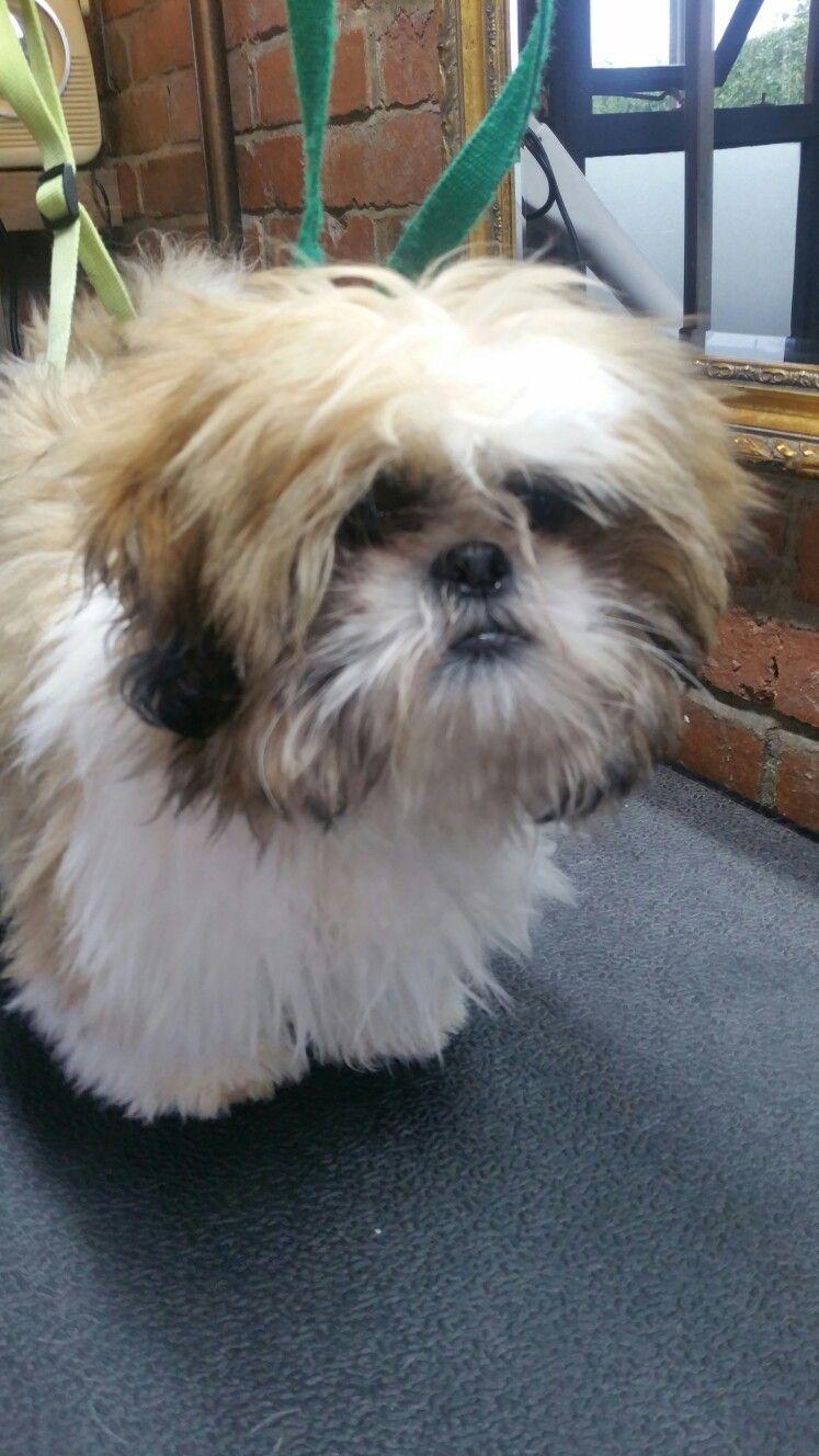Shih tzu haircut styles shih tzu before  maltese  pinterest  shih tzus maltese and dog