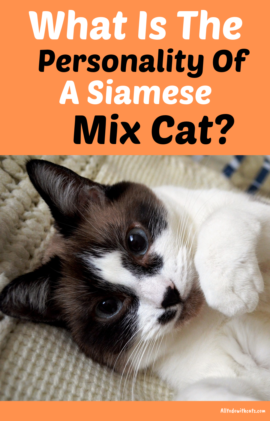 Are Siamese Mix Cats Good Pets Everything You Need To Know Cats Cat Personalities Purebred Cats