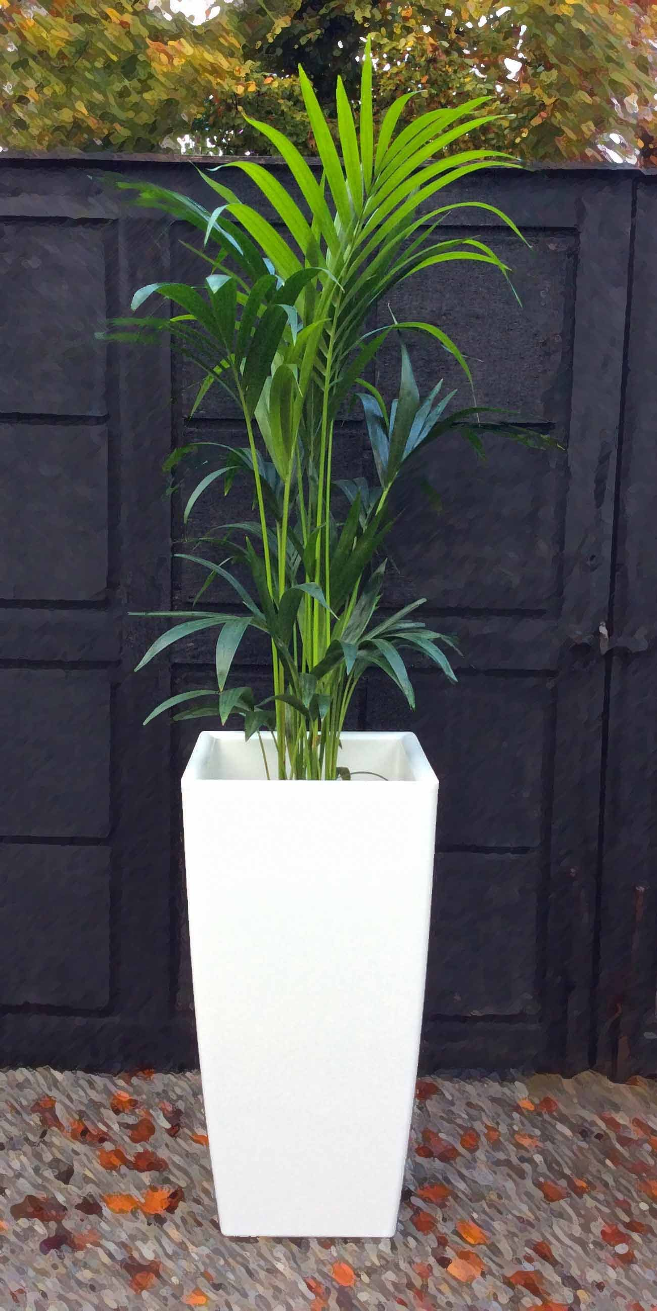 Kentia Palm available from Plant Design http//plantdesign