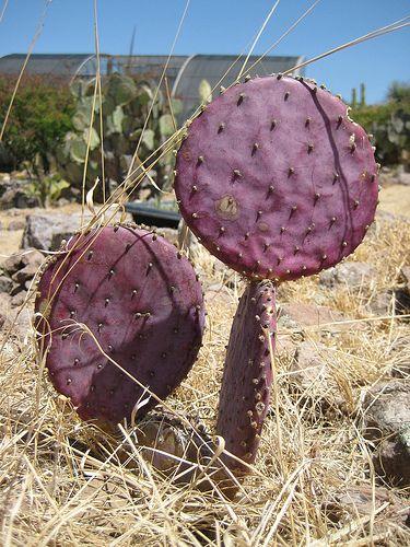 * purple cactus | by Erika de Colores