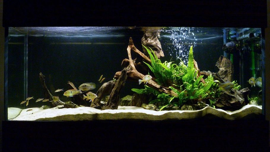 My south american cichlid tank fish tank pinterest for African cichlid tank decoration