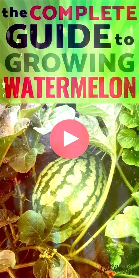 to Grow Watermelon in Your Garden From Seed to Harvest How to Grow Watermelon in Your Garden From Seed to Harvest How to Grow Watermelon in Your Garden From Seed to Harve...