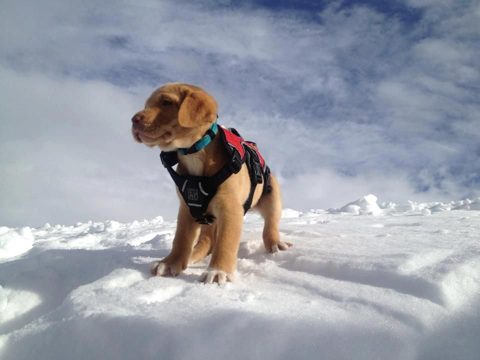Avalanche Dog In Training Dog Dogs Snow Dogs Funny Dogs