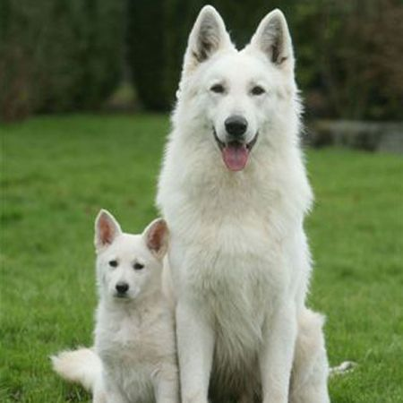 Berger Blanc Suisse Dogs Pets That I Might Want Pinterest