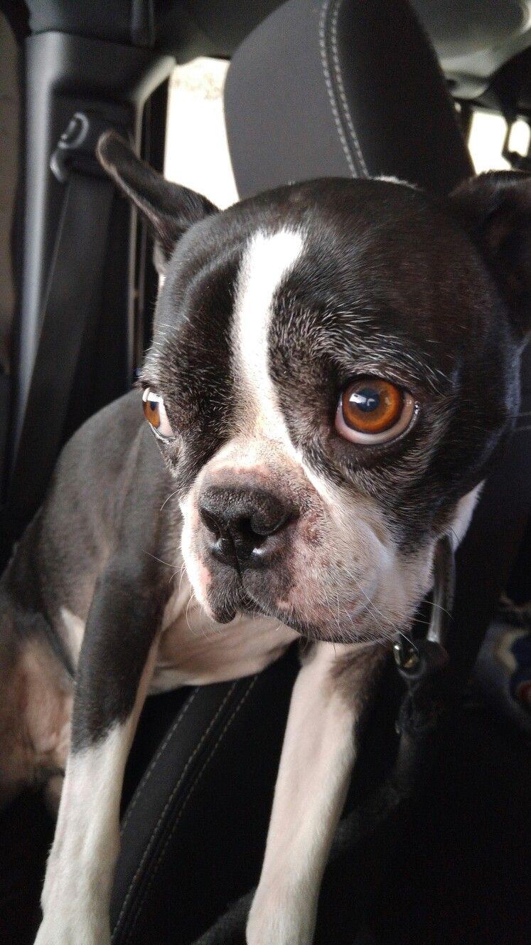 Fredo that face!! Boston terrier, Boston terrier dog