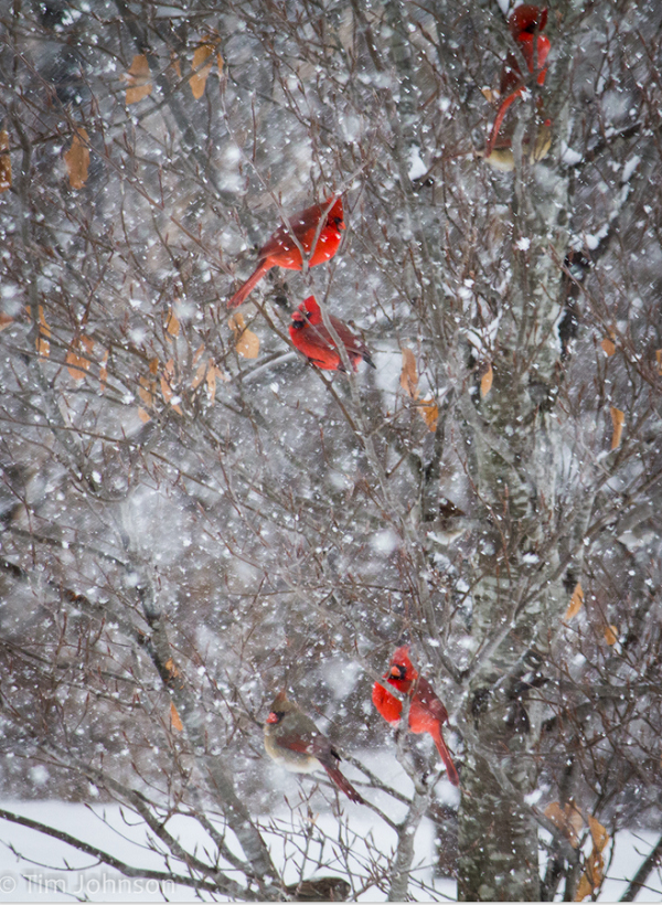 A cardinal is a representative of a loved one who has - Pictures of cardinals in snow ...