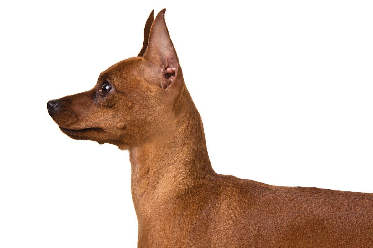 Miniature Pinscher Dog Breed Information Miniature Pinscher