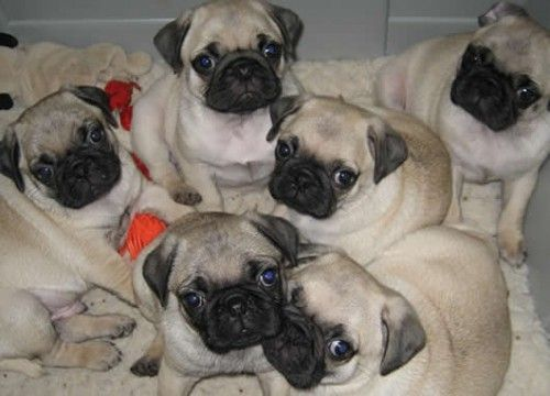 Pug Puppies Pug Puppies Pug Puppies For Sale Pugs