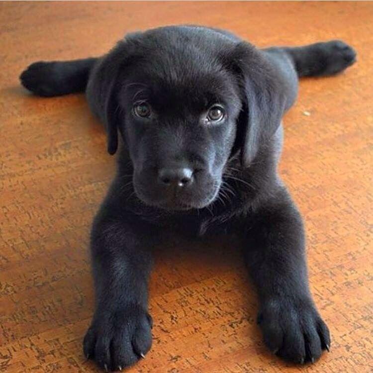 Cute Lab Puppy Via Yellowlab Nala On Instagram Cute Lab Puppies Cute Labrador Puppies Labrador Retriever Puppies
