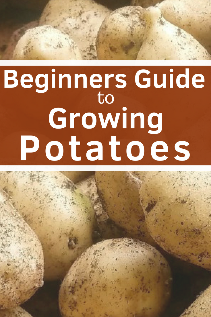 Growing Potatoes Everything You Need To Know Home Vegetable