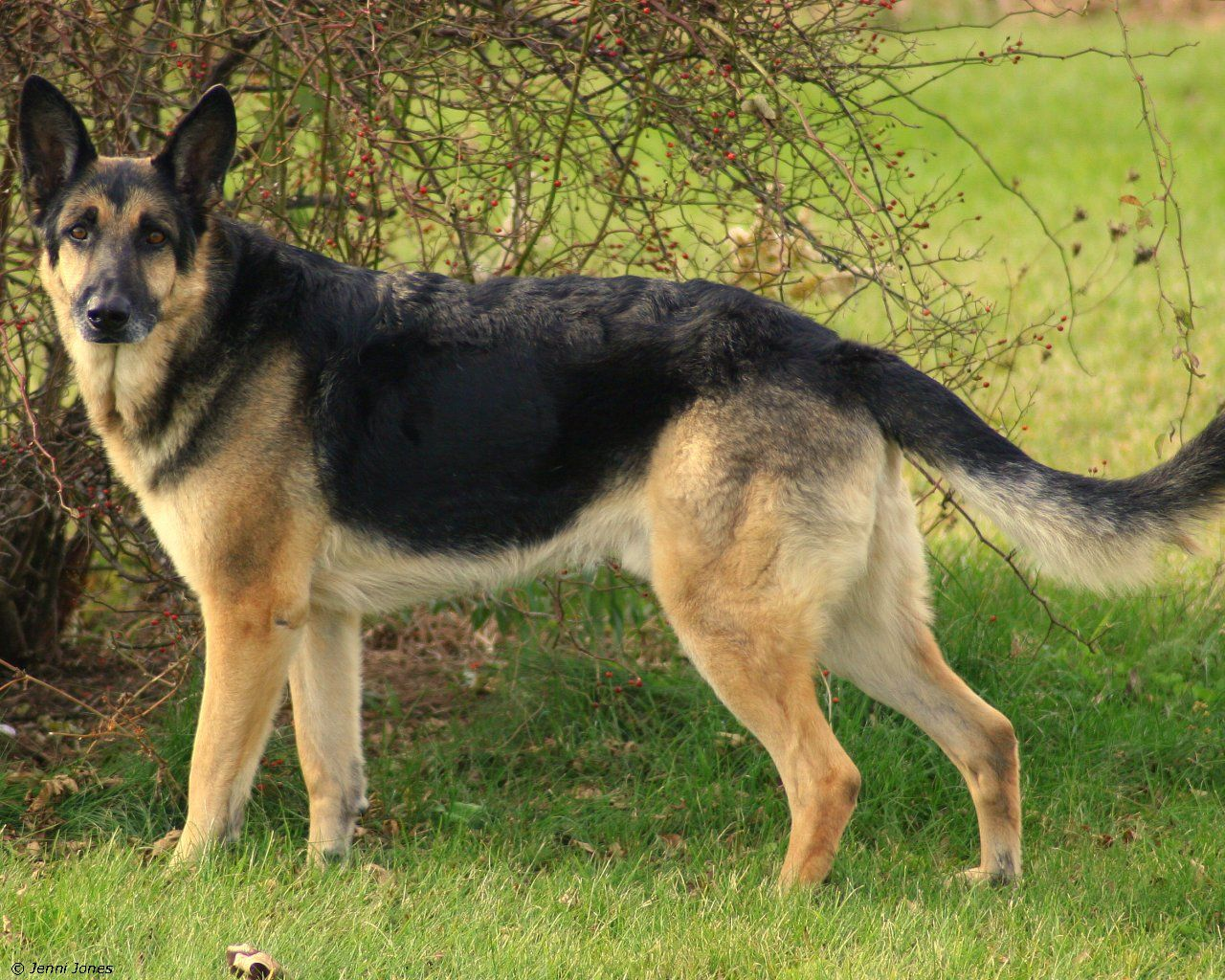 Image Detail For German Shepherd Wallpapers Pictures Breed