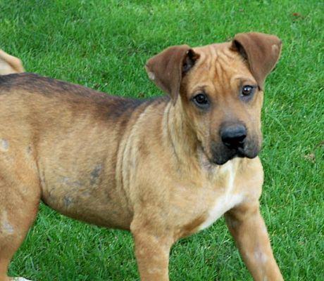 Liberty Center Ohio Boxer Meet Dexten A For Adoption Https Www Adoptapet Com Pet 19907027 Liberty Center Ohio Boxer M Liberty Center Dog Adoption Boxer