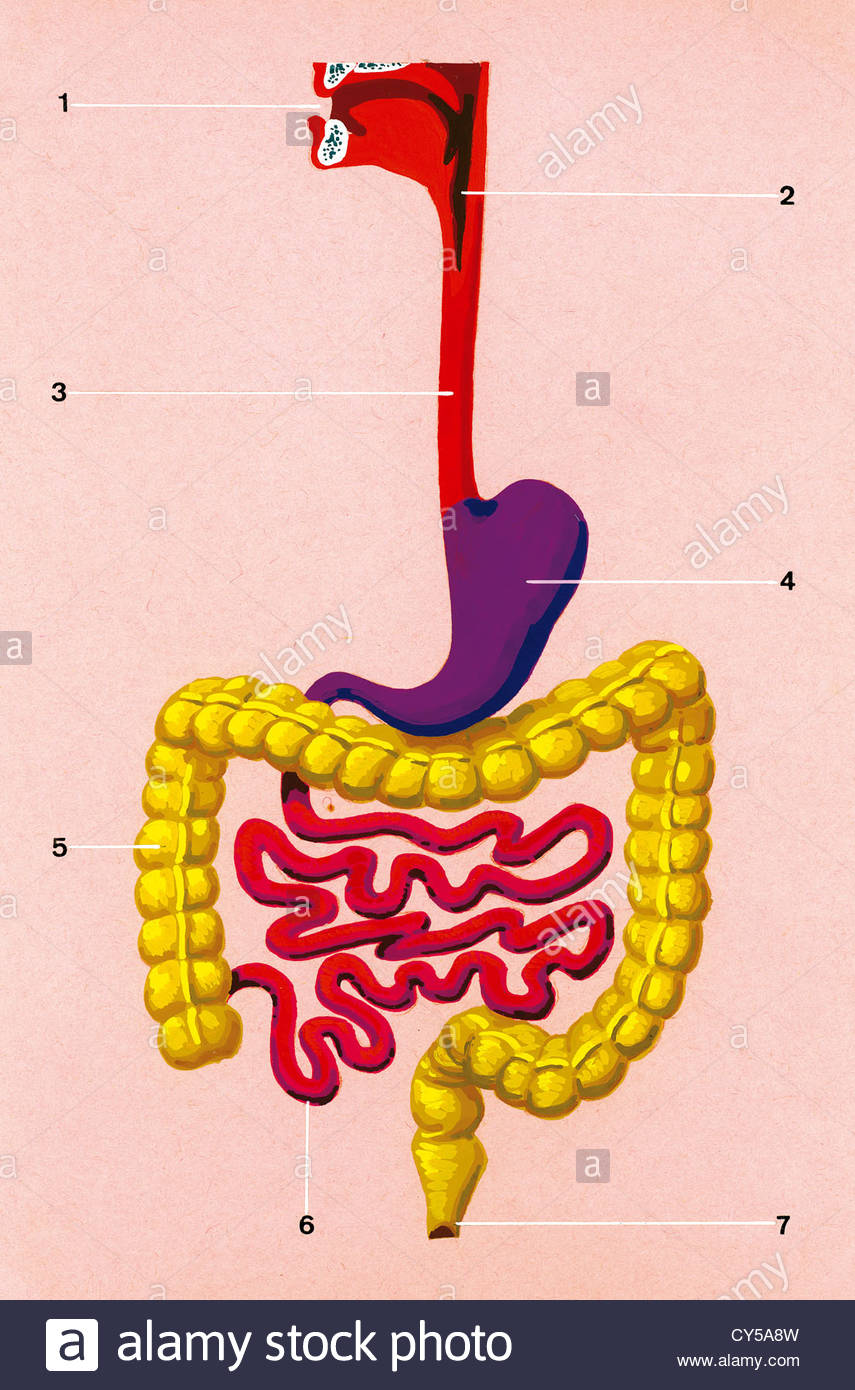 Tiohider Blog Archive Drawing Of Digestive System For Kids Digestive System For Kids Digestive System Human Anatomy Picture