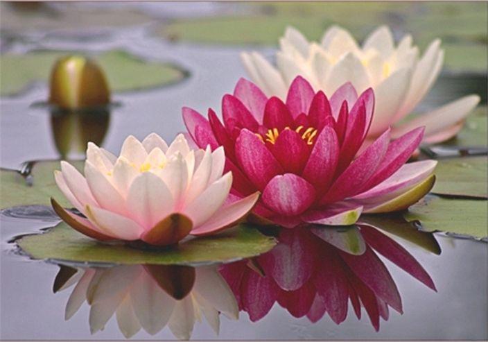 лотос — Рамблер-Поиск | Лотос, Цветок лотоса, Цветок