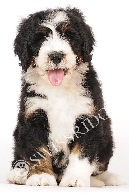 Mini Bernedoodle Puppies Swissridge Berenedoodles