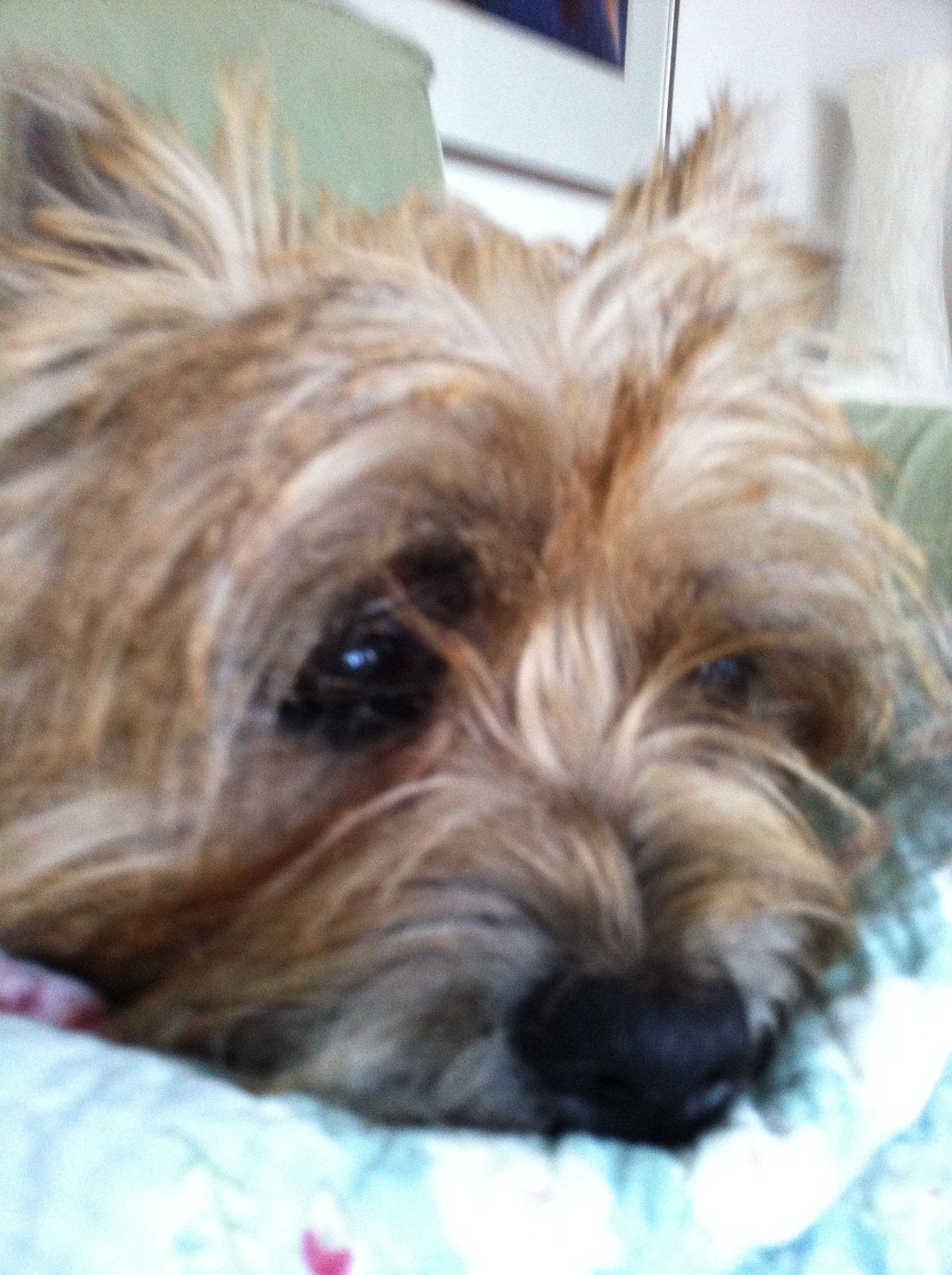 Emma Cairn Terrier Cairn Terrier Terrier Yorkie