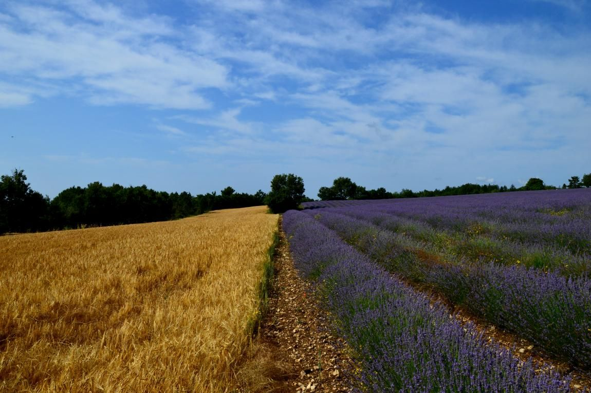 This landscape is the perfect combination of the most important elements for a summer in Provence, the lavender, fields of wheat, and this beautiful blue sky.
