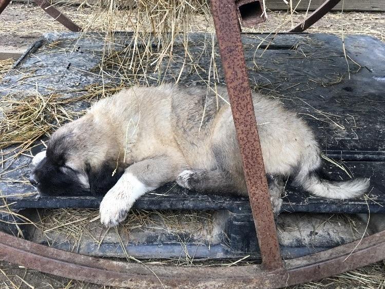 Litter of 9 Anatolian Shepherd puppies for sale in SLAUGHTER, LA. ADN-30671 on PuppyFinder.com Gender: Female. Age: 10 Weeks Old
