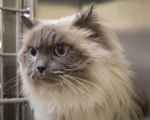 Adopt Brie On Ragdoll Cat Gorgeous Cats Cat Adoption