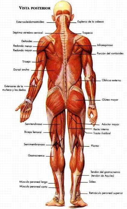 El Sistema Muscular Musculos Del Cuerpo Humano Sistema Muscular Cuerpo Humano Anatomia