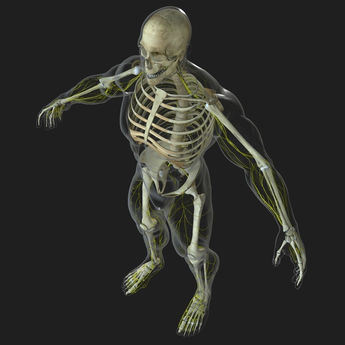Human Central Nervous System with Skeleton | 3D model | 3D ...