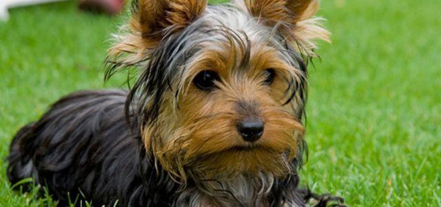 Clasificación: Razas de perros pequeñas. Otros nombres: Yorkie ...