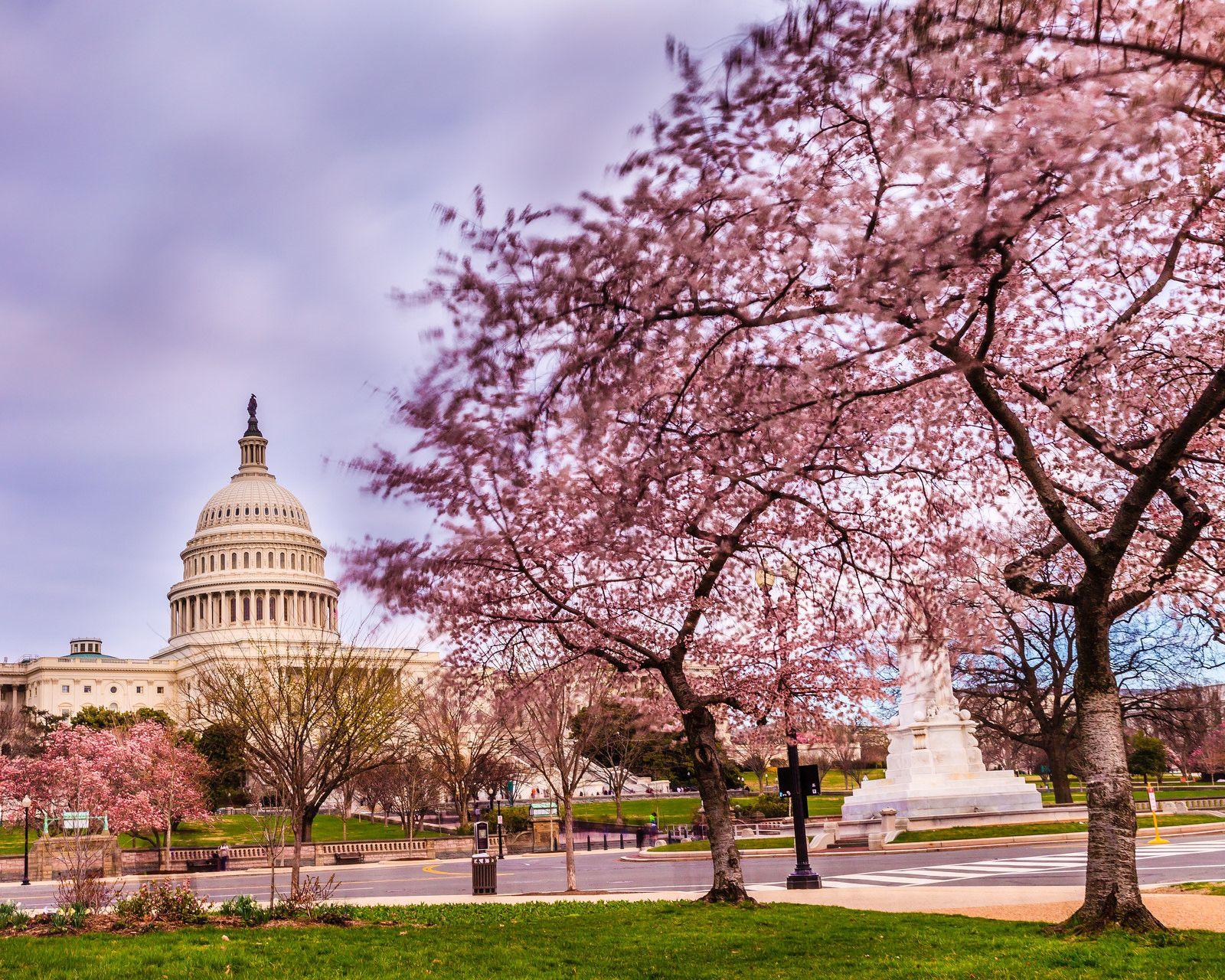 cherry blossom festival - HD1600×1280