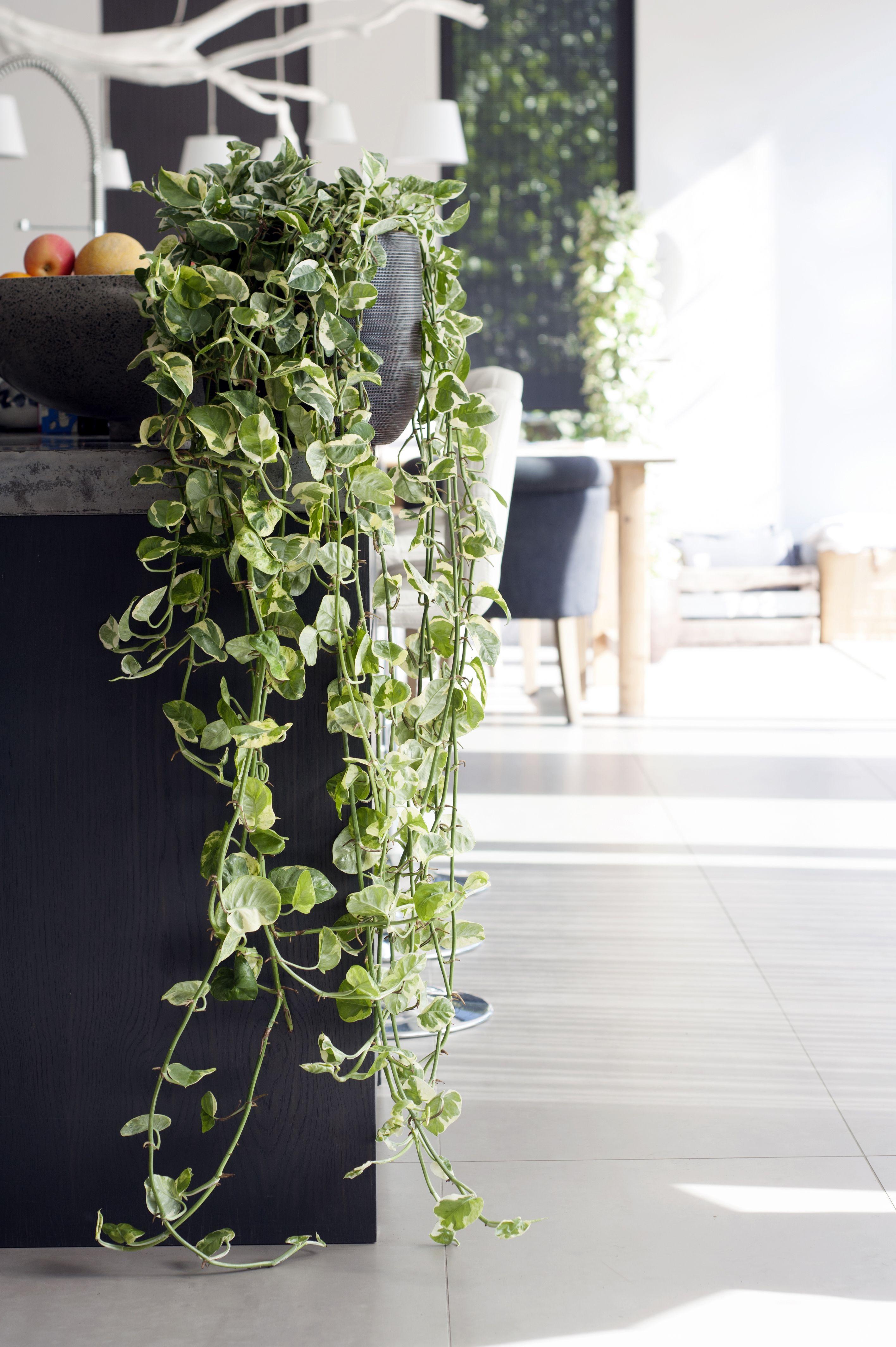 Zimmerpflanzen tipp die efeutute epipremnum pinnatum plants and green walls - Zimmerpflanzen hangend ...