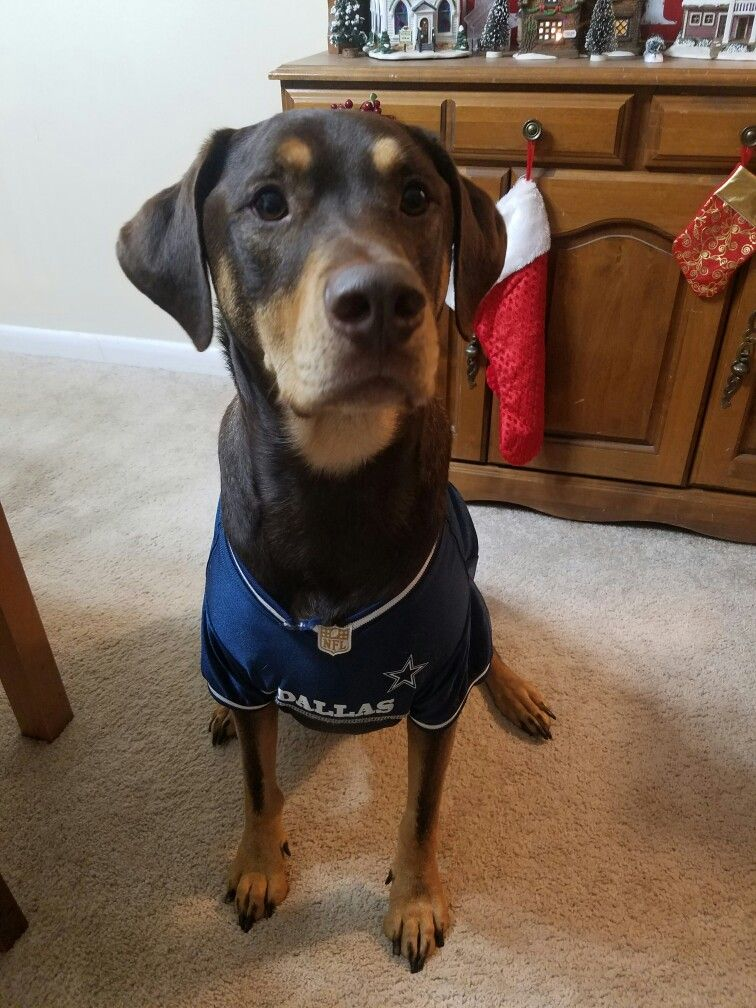 new concept 94626 dc86c Doberdor. Bolt the Doberdor in his Dallas Cowboys jersey ...