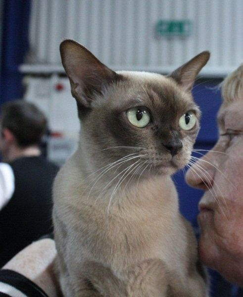 The Burmese Cat Kittens First Came To America In 1930 When Dr Joseph Thompson Of San Francisco Brought A Small Walnut Brown Femal Cat Breeder Burmese Cat Cats