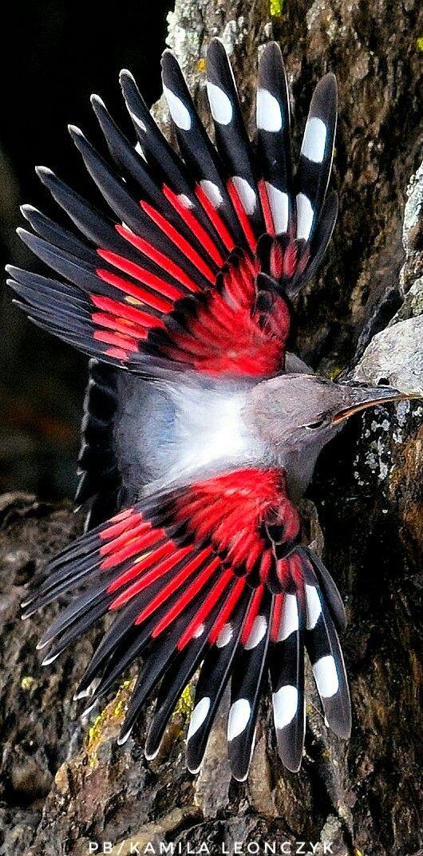 Wallcreeper Mauerläufer Pomurnik (Tichodroma muraria) The wallcreeper (Tichodroma muraria) is a small passerine bird found throughout the high mountains of Eurasia. It is the only member of the genus Tichodroma. birds vögel ptaki Fot.Luciano Casagranda