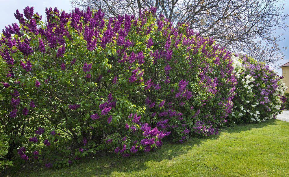 Fliederhecke Unsere Tipps Zur Pflanzung Und Pflege In 2020 Garten Pflanzen Sichtschutz Pflanzen Pflanzen